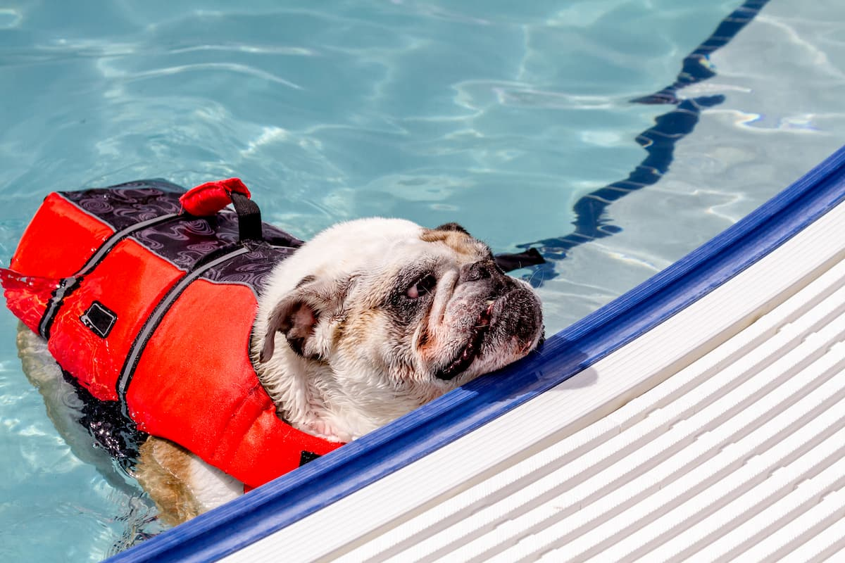 English bulldog in water at local swimming pool wearing canine life jacket